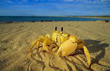 Ghost Crab (Ocypode quadrata) on beach, Cape Range National Park, Australia  -  Cyril Ruoso