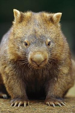 Common Wombat (Vombatus ursinus) portrait, southeastern Australia  -  Cyril Ruoso