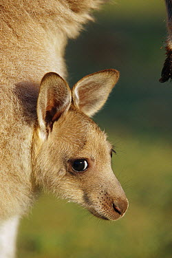 Eastern Grey Kangaroo (Macropus giganteus) joey peeking out from its mother's pouch, Australia  -  Cyril Ruoso