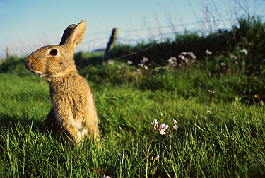 European Rabbit (Oryctolagus cuniculus) in a meadow, France  -  Cyril Ruoso