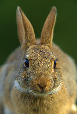 European Rabbit (Oryctolagus cuniculus) portrait, France, introduced worldwide  -  Cyril Ruoso