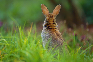 European Rabbit (Oryctolagus cuniculus) in meadow, France, introduced worldwide  -  Cyril Ruoso