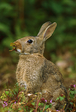 European Rabbit (Oryctolagus cuniculus) eating wild Violets, France, introduced worldwide  -  Cyril Ruoso