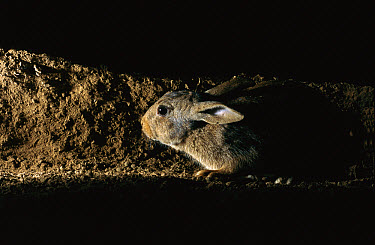 European Rabbit (Oryctolagus cuniculus) in underground burrow, France, introduced worldwide  -  Cyril Ruoso