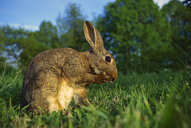 European Rabbit (Oryctolagus cuniculus) grooming itself in meadow, France, introduced worldwide  -  Cyril Ruoso