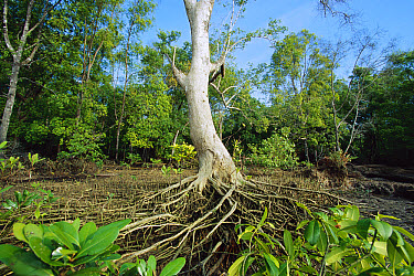 Mangrove (Rhizophora sp) in Mahakam Delta which was 80% destroyed in 2001 due to shrimp farming, East Kalimantan, Indonesia  -  Cyril Ruoso