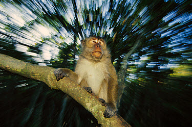 Long-tailed Macaque (Macaca fascicularis) portrait in mangrove, East Kalimantan, Indonesia  -  Cyril Ruoso