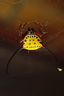 Spiked Spider (Gasteracantha sp) in web, East Kalimantan, Indonesia  -  Cyril Ruoso