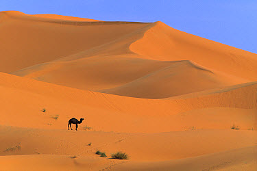 Dromedary (Camelus dromedarius) camel walking amid sand dunes, Sahara Desert, Morocco  -  Cyril Ruoso