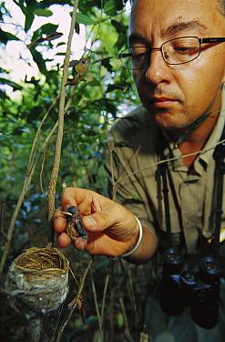 Madagascar Paradise Flycatcher (Terpsiphone mutata) chick returned to nest by ornithologist Raoul Mulder, Bealoka Reserve, Madagascar  -  Cyril Ruoso