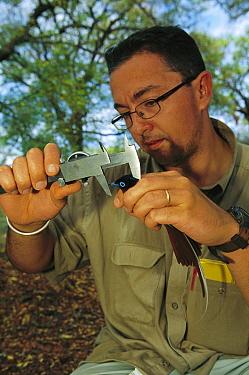 Madagascar Paradise Flycatcher (Terpsiphone mutata) male measured by ornithologist Raoul Mulder, Bealoka Reserve, Madagascar  -  Cyril Ruoso