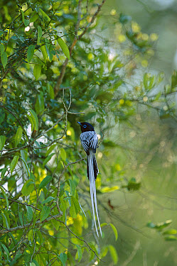 Madagascar Paradise Flycatcher (Terpsiphone mutata) white male morph perching in tree, Bealoka Reserve, Madagascar  -  Cyril Ruoso
