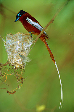 Madagascar Paradise Flycatcher (Terpsiphone mutata) tagged red male at nest, Bealoka Reserve, Madagascar  -  Cyril Ruoso