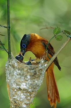 Madagascar Paradise Flycatcher (Terpsiphone mutata) female feeding chicks, Bealoka Reserve, Madagascar  -  Cyril Ruoso