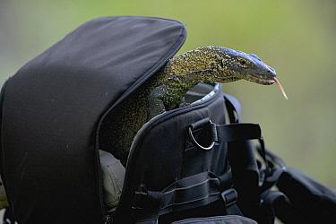 Komodo Dragon (Varanus komodoensis) yearling exploring camera bag, Komodo National Park, Indonesia  -  Cyril Ruoso