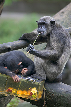 Chimpanzee (Pan troglodytes) female and young using a tool to eat fruits inside a box, native to Africa  -  Cyril Ruoso