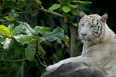Bengal Tiger (Panthera tigris tigris) white adult resting, native to Asia  -  Cyril Ruoso