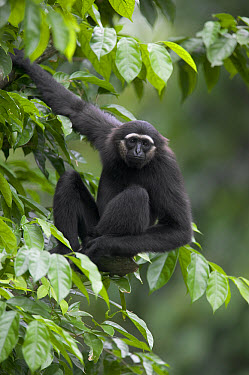 M?ller's Bornean Gibbon (Hylobates muelleri) in tree, native to southeast Asia  -  Cyril Ruoso