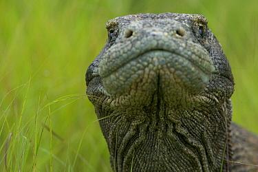 Komodo Dragon (Varanus komodoensis) adult portrait, Rinca Island, Komodo National Park, Indonesia  -  Cyril Ruoso