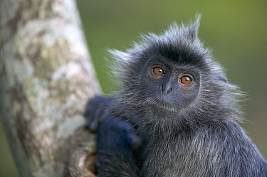 Silvered Leaf Monkey (Trachypithecus cristatus) portrait in tree, Kuala Selangor Nature Reserve, Malaysia  -  Cyril Ruoso