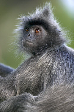 Silvered Leaf Monkey (Trachypithecus cristatus) portrait, Kuala Selangor Nature Reserve, Malaysia  -  Cyril Ruoso