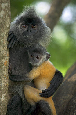 Silvered Leaf Monkey (Trachypithecus cristatus) female holding young, Kuala Selangor Nature Reserve, Malaysia  -  Cyril Ruoso