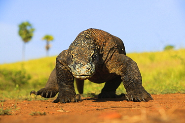Komodo Dragon (Varanus komodoensis) approaching, Komodo National Park, Indonesia  -  Cyril Ruoso