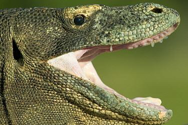 Komodo Dragon (Varanus komodoensis) regulating temperature by opening mouth, Rinca Island, Komodo National Park, Indonesia  -  Cyril Ruoso