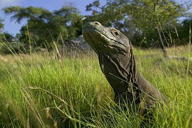 Komodo Dragon (Varanus komodoensis) walking in tall grass, Rinca Island, Komodo National Park, Indonesia  -  Cyril Ruoso