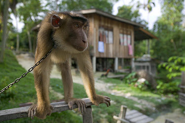 Pig-tailed Macaque (Macaca nemestrina) this captive Macaque is trained to pick coconuts, Malaysia  -  Cyril Ruoso