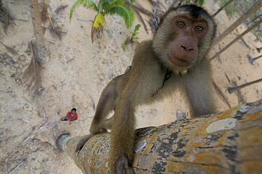 Pig-tailed Macaque (Macaca nemestrina) captive animal trained to pick coconuts, Malaysia  -  Cyril Ruoso