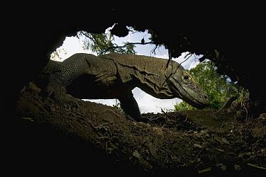 Komodo Dragon (Varanus komodoensis) pirate Megapodious bird nests to eat the eggs or to lay their own eggs, Rinca Island, Komodo National Park, Indonesia  -  Cyril Ruoso