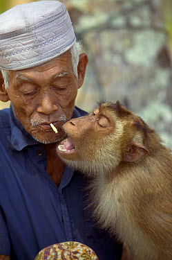 Pig-tailed Macaque (Macaca nemestrina) likes to breathe the cigarette smoke and eat the tobacco of its owner and is trained to pick coconuts, Malaysia  -  Cyril Ruoso