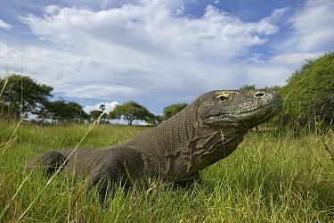 Komodo Dragon (Varanus komodoensis) portrait, Rinca Island, Komodo National Park, Indonesia  -  Cyril Ruoso