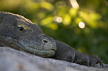 Komodo Dragon (Varanus komodoensis) resting on rock, Rinca Island, Komodo National Park, Indonesia  -  Cyril Ruoso
