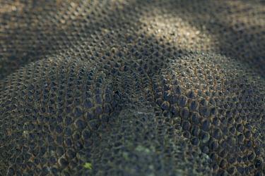 Komodo Dragon (Varanus komodoensis) detail of skin, Rinca Island, Komodo National Park, Indonesia  -  Cyril Ruoso