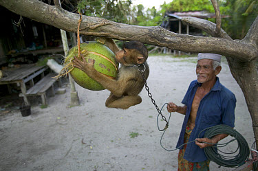 Pig-tailed Macaque (Macaca nemestrina) training to pick coconuts starting very young, Malaysia  -  Cyril Ruoso