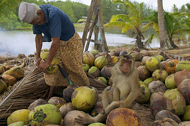 Pig-tailed Macaque (Macaca nemestrina) men sorting coconuts on ground picked by trained captive Macaques, Malaysia  -  Cyril Ruoso
