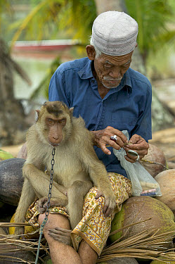 Pig-tailed Macaque (Macaca nemestrina) trained to pick coconuts, sits on the lap of his owner who is counting his money from coconut sales, Malaysia  -  Cyril Ruoso