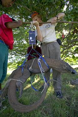 Komodo Dragon (Varanus komodoensis) adult being weighed Tim Jessup and research team, Rinca Island, Komodo National Park, Indonesia  -  Cyril Ruoso