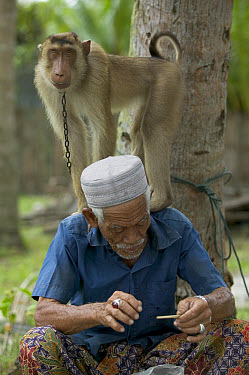 Pig-tailed Macaque (Macaca nemestrina) with 80 year old owner who trains monkeys to pick coconuts, Malaysia  -  Cyril Ruoso
