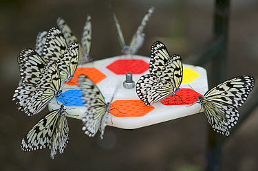 Paper Kite (Idea leuconoe) butterflies attracted by colors, coming to feed, Singapore Zoo  -  Cyril Ruoso