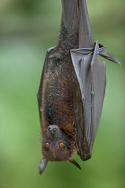 Large Flying Fox (Pteropus vampyrus) portrait, these are some of the largest bats with a wingspan, native to southeast Asia  -  Cyril Ruoso