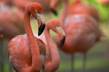 Greater Flamingo (Phoenicopterus ruber) group, principally native to the Caribbean region and Galapagos Islands, Ecuador  -  Cyril Ruoso