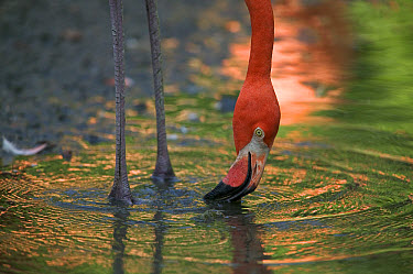 Greater Flamingo (Phoenicopterus ruber) feeding in shallow water, principally native to the Caribbean region and Galapagos Islands, Ecuador  -  Cyril Ruoso