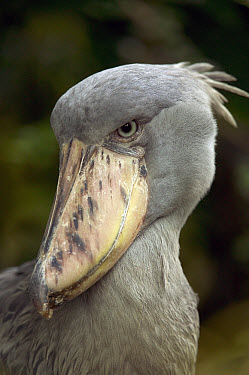 Shoebill (Balaeniceps rex), native to tropical regions of central Africa  -  Cyril Ruoso