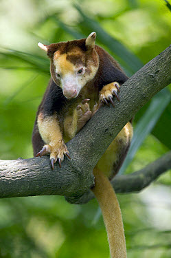 Matschie's Tree Kangaroo (Dendrolagus matschiei) endemic to the Huon Peninsula, Papua New Guinea  -  Cyril Ruoso