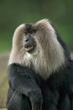 Lion-tailed Macaque (Macaca silenus) male portrait, native to India  -  Cyril Ruoso