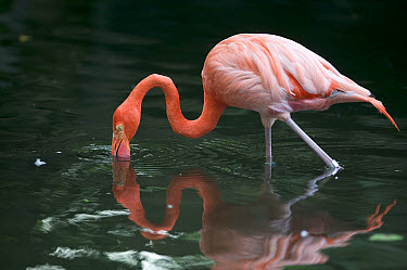 Greater Flamingo (Phoenicopterus ruber) wading and feeding in shallow water, principally native to the Caribbean region and Galapagos Islands, Ecuador  -  Cyril Ruoso