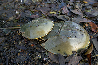 Chinese Horseshoe Crab (Tachypleus gigas) pair mating showing smaller male attached to female, Singapore  -  Cyril Ruoso